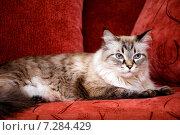 Кот породы Невская маскарадная. Стоковое фото, фотограф Анна Алексеенко / Фотобанк Лори