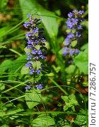 Купить «Змееголовник тимьяноцветковый (лат. Dracocephalum thymiflorum L.)», эксклюзивное фото № 7286757, снято 31 мая 2009 г. (c) lana1501 / Фотобанк Лори