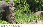 Слон с большими бивнями (2015 год). Стоковое видео, видеограф Михаил Коханчиков / Фотобанк Лори