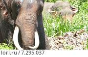 Слон с бивнями (2015 год). Стоковое видео, видеограф Михаил Коханчиков / Фотобанк Лори