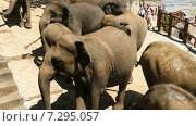 Слоны в приюте, Шри-Ланка (2015 год). Стоковое видео, видеограф Михаил Коханчиков / Фотобанк Лори