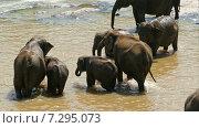 Слоны стоят в реке, Шри-Ланка (2015 год). Стоковое видео, видеограф Михаил Коханчиков / Фотобанк Лори