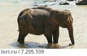 Слон стоит в реке (2015 год). Стоковое видео, видеограф Михаил Коханчиков / Фотобанк Лори