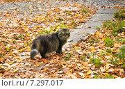 Купить «Кот идет по осенней дорожке», фото № 7297017, снято 14 ноября 2019 г. (c) Зезелина Марина / Фотобанк Лори