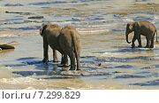 Слоны в реке (2015 год). Стоковое видео, видеограф Михаил Коханчиков / Фотобанк Лори