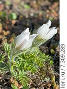 Пушистые белые цветы прострел, или сон трава. Фокус на переднем плане. Стоковое фото, фотограф Svet / Фотобанк Лори