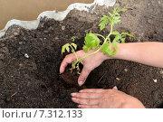 Купить «Руки женщины сажают помидорную рассаду в тепличный грунт», фото № 7312133, снято 25 апреля 2015 г. (c) Ирина Борсученко / Фотобанк Лори