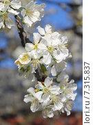 Купить «Ветка цветущей черешни (Prunus avium) на фоне голубого неба крупным планом», эксклюзивное фото № 7315837, снято 25 апреля 2015 г. (c) Ирина Водяник / Фотобанк Лори