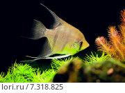 Купить «Аквариумная рыбка-скалярия обыкновенная, или рыба-ангел», фото № 7318825, снято 14 марта 2015 г. (c) Татьяна Белова / Фотобанк Лори