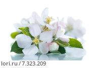 Купить «Цветы яблони на белом фоне», фото № 7323209, снято 29 апреля 2015 г. (c) Peredniankina / Фотобанк Лори