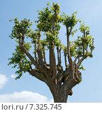 Купить «Старая обрезанная липа», эксклюзивное фото № 7325745, снято 13 июля 2010 г. (c) Александр Щепин / Фотобанк Лори