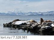 Купить «Лежбище северных морских львов (сивучей) в Петропавловске-Камчатском», фото № 7328981, снято 2 апреля 2015 г. (c) А. А. Пирагис / Фотобанк Лори