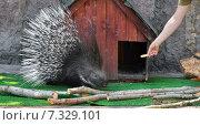Купить «Угощение для дикобраза (лат. Hystrix) (фокус на мордочке)», фото № 7329101, снято 29 апреля 2015 г. (c) Валерия Попова / Фотобанк Лори
