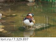Купить «Утка мандаринка», фото № 7329897, снято 8 ноября 2013 г. (c) Дмитрий Чулков / Фотобанк Лори