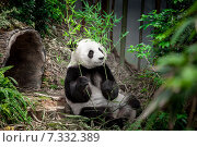 Купить «Hungry giant panda», фото № 7332389, снято 21 марта 2014 г. (c) Goinyk Volodymyr / Фотобанк Лори