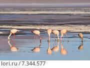 Купить «Bolivia, Laguna Colorada, the Puna Flamingo, Phoenicoparrus Jamesi», фото № 7344577, снято 26 марта 2019 г. (c) BE&W Photo / Фотобанк Лори