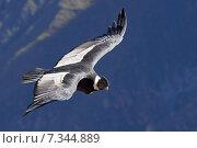 Купить «peru - the andean condor (vultur gryphus) in colca canyonPeru, Arequipa, Colca Canyon, Andean Condor, Vultur gryphus», фото № 7344889, снято 14 декабря 2019 г. (c) BE&W Photo / Фотобанк Лори