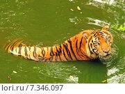 Купить «Thailand. The Bengal Tiger, (Panthera tigris)», фото № 7346097, снято 23 августа 2019 г. (c) BE&W Photo / Фотобанк Лори
