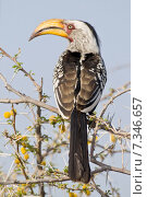 Купить «Namibia Eastern Yellow-billed Hornbill in Etosha National Park Namibia, Africa, bird, Yellow-billed Hornbill, Etosha, National Park CWO_06Africa, etosha National Park. Yellow-billed hornbill (Tockus flavirostris)», фото № 7346657, снято 26 марта 2019 г. (c) BE&W Photo / Фотобанк Лори