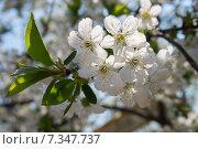 Ветка вишни с цветами. Стоковое фото, фотограф Ольга Алексеенко / Фотобанк Лори
