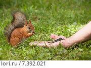Купить «Белка берет семечки из руки в парке», фото № 7392021, снято 19 августа 2012 г. (c) Сайганов Александр / Фотобанк Лори