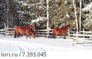 Три лошади стоят около изгороди в зимний морозный солнечный день. Стоковое видео, видеограф Кекяляйнен Андрей / Фотобанк Лори