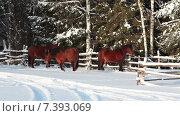 Три лошади стоят около изгороди в зимний морозный день. Стоковое видео, видеограф Кекяляйнен Андрей / Фотобанк Лори