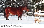 Купить «Гнедая лошадь смотрит в камеру на зимнем пастбище и уходит в сторону, зима», видеоролик № 7393161, снято 13 февраля 2015 г. (c) Кекяляйнен Андрей / Фотобанк Лори
