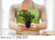 Купить «close up of woman hands holding roses bush in pot», фото № 7398597, снято 3 марта 2015 г. (c) Syda Productions / Фотобанк Лори