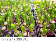 close up of hyacinths seedlings at greenhouse. Стоковое фото, фотограф Syda Productions / Фотобанк Лори