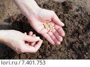 Семена гороха в женских руках. Стоковое фото, фотограф Галина Лукьяненко / Фотобанк Лори