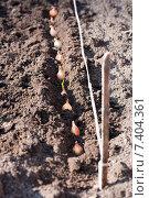 Купить «Лук-севок высажен в грунт», фото № 7404361, снято 2 мая 2015 г. (c) Галина Лукьяненко / Фотобанк Лори
