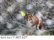 Рысь за решеткой в зоопарке. Стоковое фото, фотограф Людмила Жукова / Фотобанк Лори
