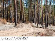 Дорога в сосновом  лесу. Забайкальский край, эксклюзивное фото № 7409457, снято 29 сентября 2007 г. (c) Александр Щепин / Фотобанк Лори
