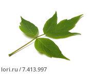 Купить «Зеленый лист на белом фоне», фото № 7413997, снято 29 апреля 2015 г. (c) Анна Полторацкая / Фотобанк Лори