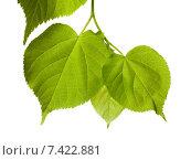 Купить «Весенние зеленые листья», фото № 7422881, снято 29 апреля 2015 г. (c) Анна Полторацкая / Фотобанк Лори