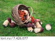 Купить «Урожай грибов в корзинке», фото № 7426077, снято 29 августа 2014 г. (c) Наталья Осипова / Фотобанк Лори
