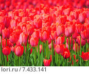 Красные тюльпаны (лат. Tulipa) Стоковое фото, фотограф lana1501 / Фотобанк Лори