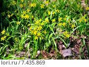 Купить «Цветущий желтый гусиный лук», фото № 7435869, снято 26 мая 2019 г. (c) Зезелина Марина / Фотобанк Лори