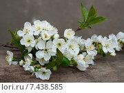 Купить «Ветка цветущей вишни», фото № 7438585, снято 3 мая 2015 г. (c) Короленко Елена / Фотобанк Лори