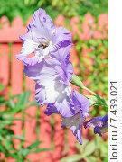 Купить «Шмель на цветке гладиолуса (Gladiolus)», эксклюзивное фото № 7439021, снято 21 августа 2014 г. (c) Алёшина Оксана / Фотобанк Лори