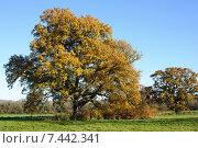 Купить «Осенний дуб на фоне голубого неба», фото № 7442341, снято 4 декабря 2013 г. (c) Татьяна Кахилл / Фотобанк Лори