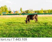 Купить «Корова тёмной масти, пасущаяся на весеннем лугу. Подмосковье.», фото № 7443109, снято 12 мая 2015 г. (c) Устенко Владимир Александрович / Фотобанк Лори