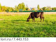 Купить «Корова тёмной масти, пасущаяся на весеннем лугу. Подмосковье.», фото № 7443153, снято 12 мая 2015 г. (c) Устенко Владимир Александрович / Фотобанк Лори