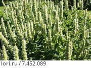 Сад и огород: лофант тибетский цветущий. Стоковое фото, фотограф yaray / Фотобанк Лори