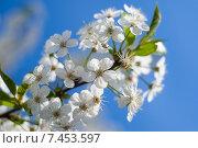 Купить «Цветы вишни на фоне голубого неба», фото № 7453597, снято 9 мая 2015 г. (c) Недзельская Татьяна / Фотобанк Лори