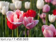 Купить «Разноцветные тюльпаны», фото № 7458069, снято 9 мая 2015 г. (c) Недзельская Татьяна / Фотобанк Лори