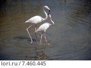 Купить «Пара фламинго во время брачного сезона в зоопарке Ростова-на-Дону», фото № 7460445, снято 14 апреля 2015 г. (c) Жанетта Багаджиян / Фотобанк Лори