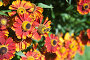 Пчела на цветке Гелениума (Helenium), эксклюзивное фото № 7462561, снято 16 августа 2013 г. (c) Алёшина Оксана / Фотобанк Лори