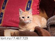 Купить «Рыжий кот», фото № 7467729, снято 22 мая 2015 г. (c) Яна Королёва / Фотобанк Лори